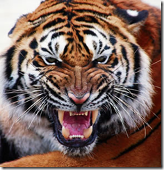 photo of angry Tiger