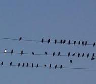 BirdsOnWire