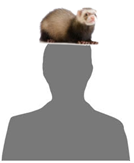 Generic image with ferret