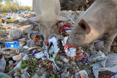 Photo of pigs eating garbage