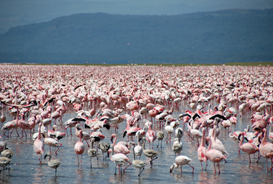 photo of a large number of flamingos